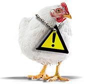 visual-contentpagina-groot(5)kip-met-waarschuwing