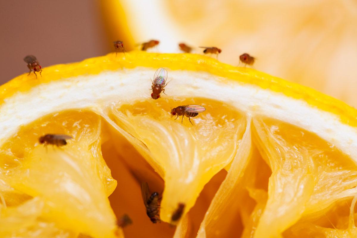 07-fruitvliegjes-op-fruit