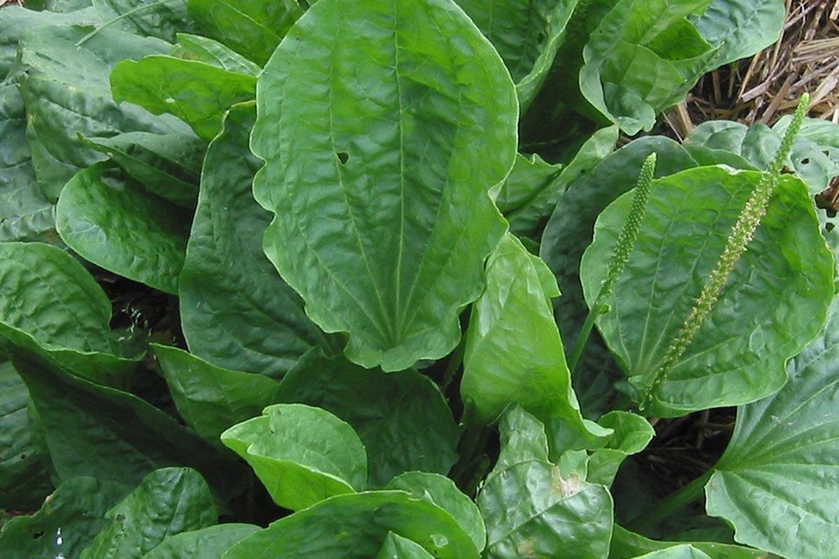 Wegbree plant